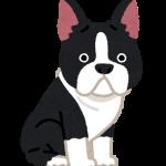 dog_boston_terrier